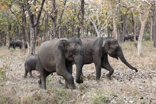 Elephants in the forest, Asian or Asiatic elephant (Elephas maximus), Mudumalai National Park, Tamil Nadu, Tamilnadu, South India, India, South Asia, Asia