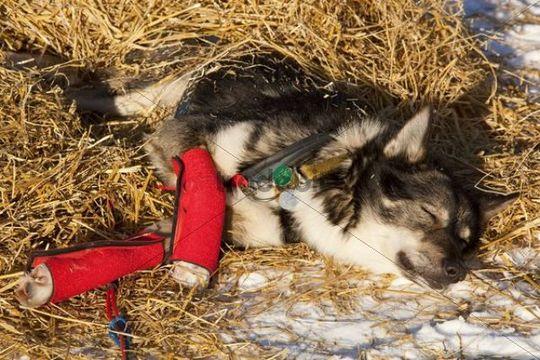 Resting sled dog, wrist bandages, Alaskan Husky, straw, Pelly Crossing checkpoint, Yukon Quest 1, 000-mile International Sled Dog Race 2010, Yukon Territory, Canada