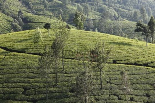 Tea plantations with trees in the highlands around Munnar, Western Ghats, Kerala, India, South Asia, Asia