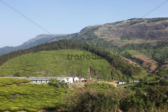 Houses of tea pickers in tea plantations, highlands around Munnar, Western Ghats, Kerala, India, South Asia, Asia