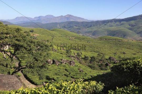 Tea plantations, highlands around Munnar, Western Ghats, Kerala, India, South Asia, Asia