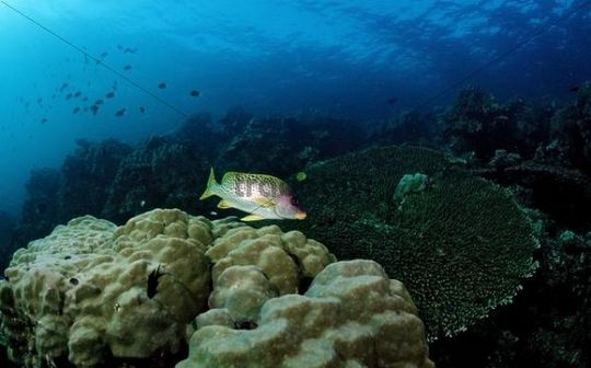 Stony reef with Blackspotted rubberlip (Plectorhinchus gaterinus), Red Sea, Djibouti, Africa