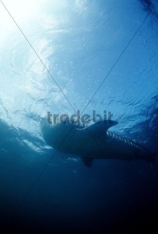 Whale shark (Rhincodon typus), Red Sea, Egypt, Africa
