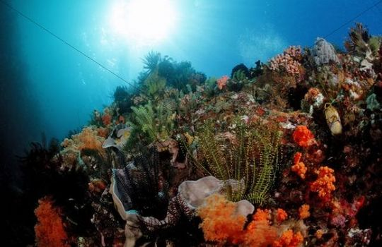 Colourful coral reef, Komodo, Indo-Pacific, Indonesia, Southeast Asia, Asia