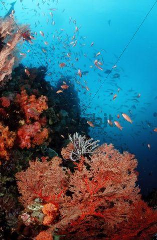 Coral reef with Anthias (Anthias), Komodo, Indian Ocean, Indonesia, Southeast Asia, Asia