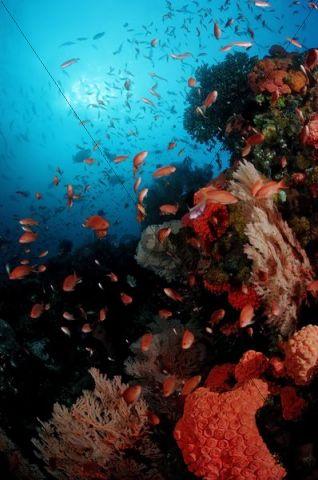 Coral Reef and anthias (Anthiinae), Komodo, Indian Ocean, Indonesia