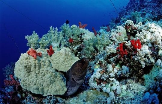 Giant Moray (Gymnothorax javanicus) at a coral reef, Marsa Alam, Red Sea, Egypt, Africa