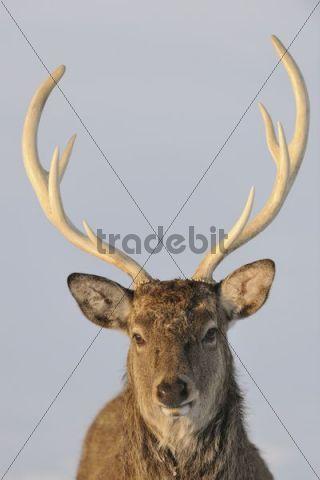 Fallow Deer (Dama dama), Wildpark Altenfelden wildlife park zoo, Upper Austria, Austria Europe