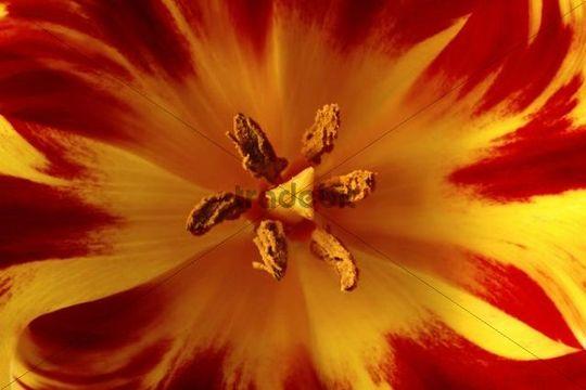 Blossom of a tulip, close-up