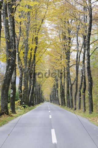 Autumnal avenue, Slovenia, Europe