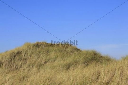 Grassy sand dune, North Holland, Netherlands, Netherlands, Europe
