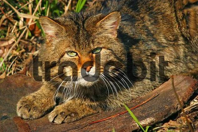 male Wild Cat Felis silvestris is looking furious