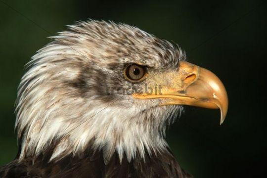 Young Bald Eagle (Haliaeetus leucocephalus), portrait