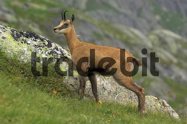 chamois Rupicapra rupicapra, Grimsel, Bern, Switzerland