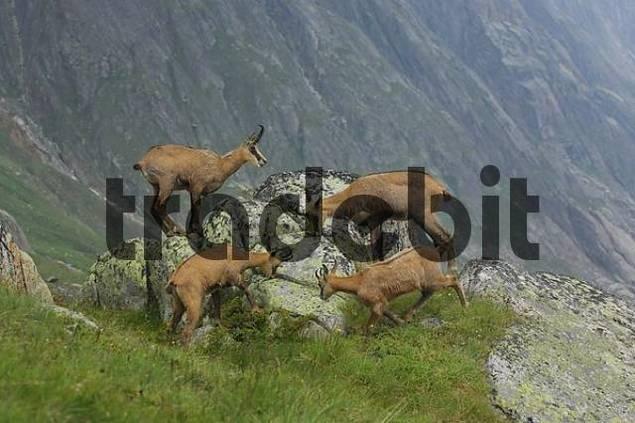chamois Rupicapra rupicapra licking minerals, Grimsel, Bern, Switzerland