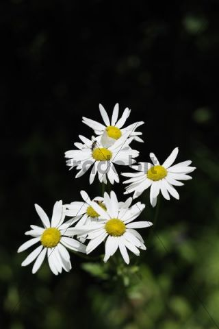 Marguerite, Oxeye daisy (Leucanthemum vulgare, Chrysanthemum leucanthemum), Mala Fatra National Park, Slovakia, Europe