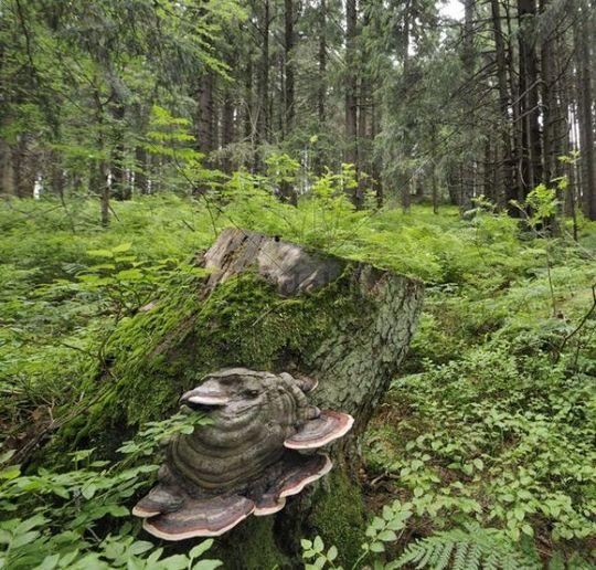 Bracket Fungus growing on stump, Mala Fatra National Park, Slovakia, Europe