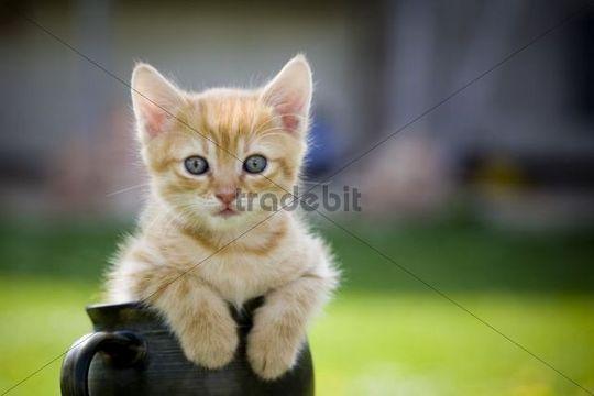 Cat (Felis catus), kitten