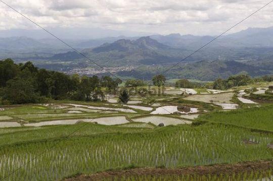 Rice paddies, Batutumonga, near Ratepao, Sulawesi, Indonesia, Southeast Asia