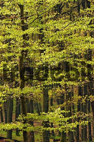 young green foliage in a beech forest