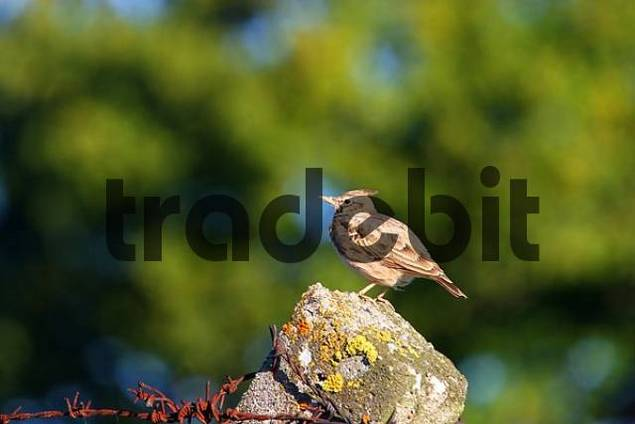 Crested Lark Galerida cristata on a fence-post