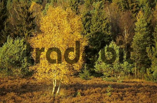Autumn coloured birch in the sunlight Germany