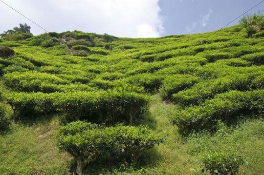 Tea plantation, Cameron Highlands, Malaysia, Southeast Asia, Asia