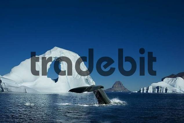 Diving Spermwhale in front of Iceberg, Umanak, Greenland