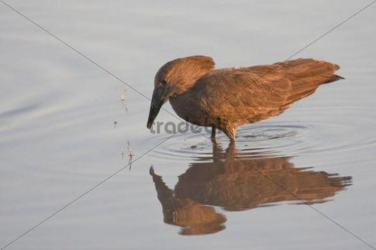 Hamerkop, Hammer head, Hammerhead, Hammerhead Stork, Umbrette, Umber Bird, Tufted Umber, or Anvilhead (Scopus umbretta), Chobe National Park, Botswana, Africa