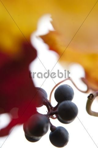 Red grapes on the vine, autumn leaves