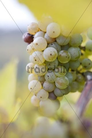 White grapes on the vine, autumn leaves
