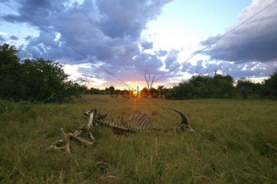 Skeleton, African buffalo, affalo or cape buffalo (Syncerus caffer), Okavango Delta, Botswana, Africa