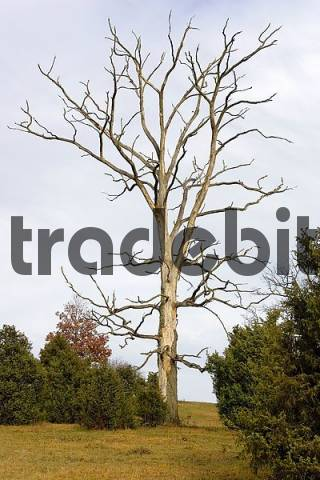 a dead tree - a symbol for the death