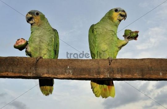 Two Turquoise-fronted Amazons or Blue-fronted Parrots (Amazona aestiva) feeding on a Guava (Psidium guajava), Mato Grosso, Brazil, South America