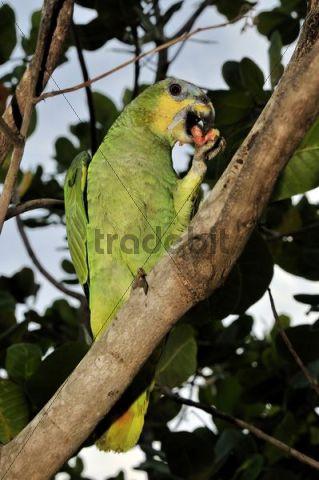 Turquoise-fronted Amazon or Blue-fronted Parrot (Amazona aestiva) feeding on a Guava (Psidium guajava), Mato Grosso, Brazil, South America