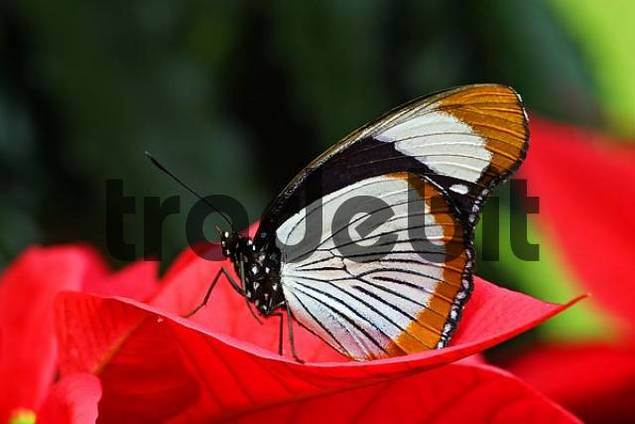 tropical butterfly Red-spotted Diadem Hypolimnas usumbara, Asia, on top of the blossom of a Poinsettia Euphorbia pulcherrima