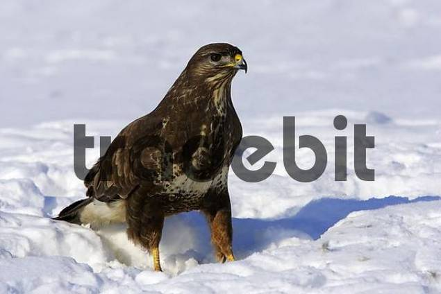 common buzzard in snow Buteo buteo