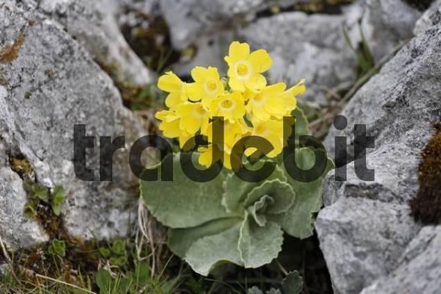 Auricula primula auricula, mountain range Rax, Lower Austria, Austria