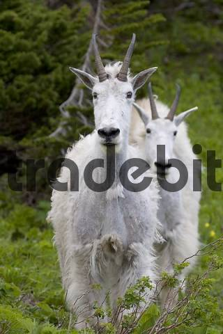 mountain goat with cub