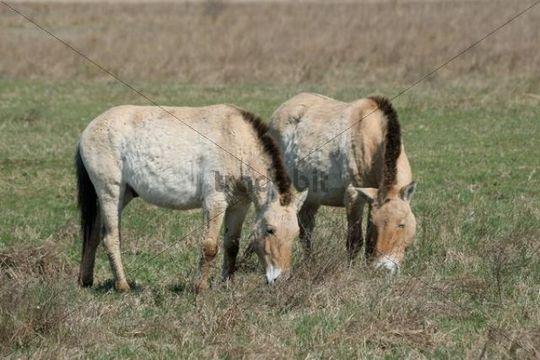 Przewalski´s horses (Equus ferus przewalskii), Burgenland, Austria, Europe