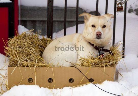 Resting young sled dog, puppy, Alaskan Husky, in a cardboard box with straw, Dawson City, Yukon Territory, Canada