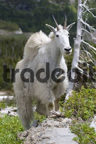 mountain goat changes its fur in early summer