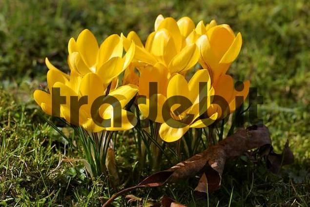 Yellow Crocus Crocus flavus