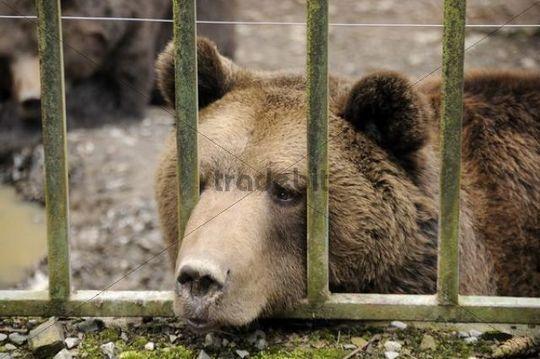 Brown bear (Ursus arctos) in captivity