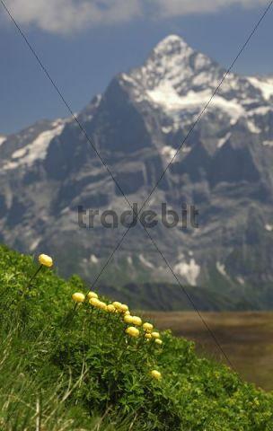 Globeflowers (Trollius europaeus) in front of Wetterhorn Massif near Grindelwald, Bernese Oberland, Switzerland, Europe