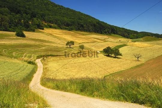 Gravel road leading through a hilly landscape with fields ready for harvesting at the Swiss plateau, summer, Canton of Aargau, Switzerland, Europe