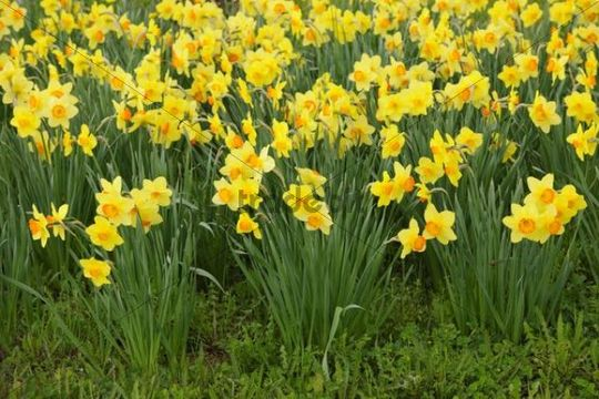 Daffodils, daffodils (Narcissus)