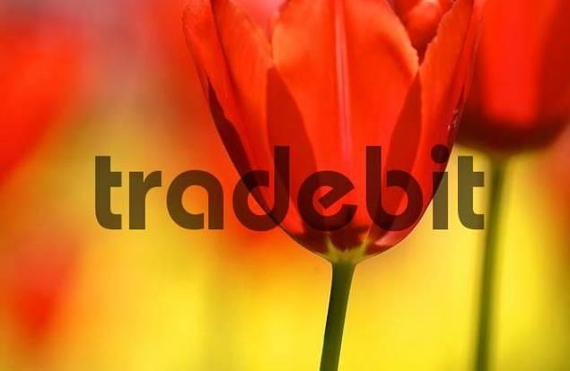 Tulips tulipa
