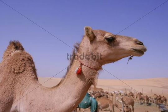 Camel viewed from the side