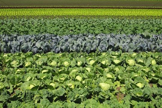 Vegetable Field With Savoy Cabbage White And Red